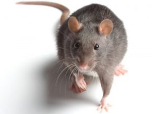 Rodent -Mouse -Control-services