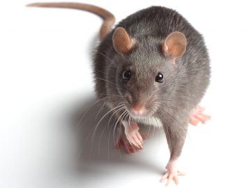 Rodent Mouse Control