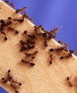 Ant-pest-control-services