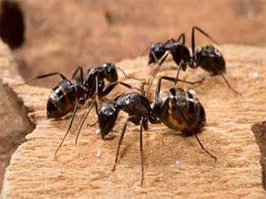 pest-control-services-ants